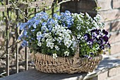 Basket with Iberis, Myosotis and Viola