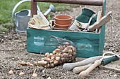 Planting onions in the organic garden