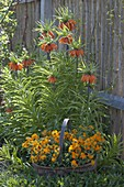 Fritillaria imperialis (imperial crown) in front of wooden wall, Erysimum