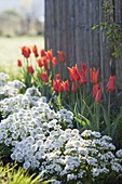 Flowerbed with Tulipa 'Ballerina' edged with Iberis