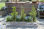 Wooden box with Picea glauca 'Conica' and Myosotis