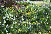 Leucojum vernum (spring snowflake), eranthis hyemalis (winter aconite)