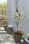 Sour cherry 'Morellenfeuer' in wicker basket, underplanted