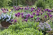 Tulipa 'Negita' (tulip) and Erysimum Poem 'Lavender' (gold lacquer)