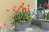 Gray Jardiniere with Tulipa 'Ballerina' and Viola