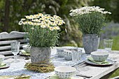 Argyranthemum frutescens in gray pots as table decoration