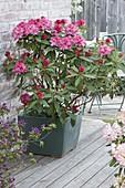 Rhododendron 'Robert de Belder' (Alpenrose) im quadratischen Kübel