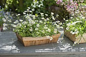 Spank boxes with Bellis perennis (Daisies)