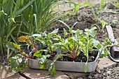 Young chard and turnips plants