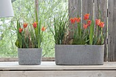 Tulips in the conservatory combined with grasses and leaves