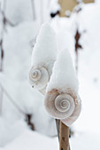 Snow covered snail shells on sticks as decoration plugs in the garden