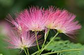 Albizia julibrissin (Seidenbaum) mit rosafarbenen Pinselblueten