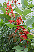 Erythrina crista galli (coral shrub) in the conservatory