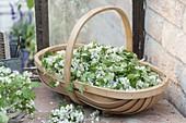 Basket of Crataegus monogyna (hawthorn) flowers and leaves