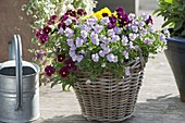 Basket with viola cornuta (horn violet) in red and light purple
