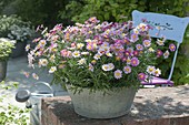 Argyranthemum frutescens 'Bubblegum Blast' in zinc bowl