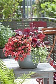 Pot for semi-shaded balconies-Begonia 'Summerwings Pink Elegance'