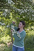 Woman cutting Crataegus monogyna around flowers and leaves