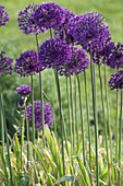 Allium aflatunense 'Purple Sensation' - Purpur-Kugellauch