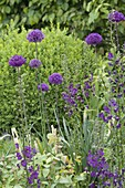 Allium aflatunense 'Purple Sensation' and Verbascum