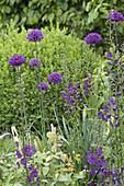 Allium aflatunense 'Purple Sensation' (Purpur-Kugellauch) und Verbascum