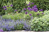 Allium aflatunense 'Purple Sensation', with Nepeta