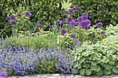 Allium aflatunense 'Purple Sensation' (Purpur-Kugellauch), mit Nepeta
