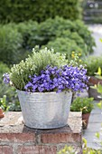 Campanula portenschlagiana (Paddy Bellflower) and thyme