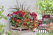 Fruit crate converted into a wall basket - Pelargonium Caliente 'Dark Fire'