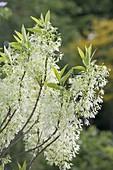 Chionanthus virginicus (Virginischer Schneeflockenstrauch)