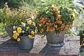 Begonia sutherlandii 'Papaya', Begonia tuberhybrida 'Nonstop Yellow'