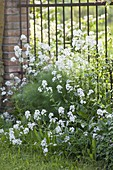 Hesperis matronalis 'Alba' (White Night Viole) in front of iron fence