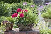 Basket on garden wall with Pelargonium Caliente 'Rose'