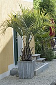 Butia capitata (jelly palm) in wooden bucket beside house entrance