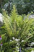 Polystichum setiferum 'Dahlem' (Filigree fern)