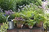 Blühender Schnittlauch (Allium schoenoprasum), verschiedene Salate