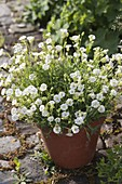 Silene uniflora 'white-throated'