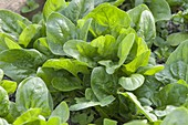 Spinach (Spinacia oleracea)