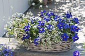 Basket with Exacum trinervium subsp. macranthum 'kandy'