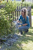 Woman sprinkles lime on berry bushes