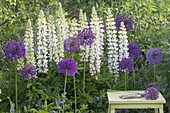 Allium aflatunense 'Purple Sensation' and white lupinus