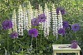 Allium aflatunense 'Purple Sensation' (Purpur-Kugellauch) und weisse Lupinus