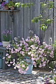 Pelargonium 'Pink Champagne' (scented geranium) with ginger scent