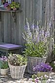 Flowering meadow sage 'Madeline' (Salvia pratensis) and sage