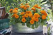 Calendula (marigold) in zinc tub