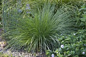 Festuca cinerea 'Green Form' (Green Bluewing)