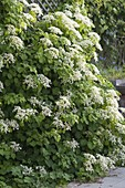 Hydrangea petiolaris (climbing hydrangea) in bloom
