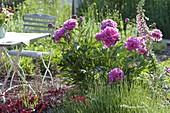 Paeonia officinalis 'Rosea Plena' with lavender