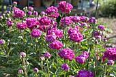 Paeonia lactiflora 'Pink Double' (Peony)