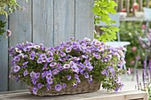 Basket with Calibrachoa Superbells Unique 'Lavender'